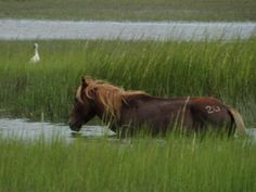 Love to see the horses in the water.....Shackleford Banks, NC (found pins I posted of my personal pics!)