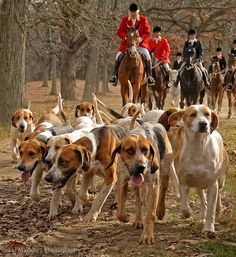 hound dogs on the hunt