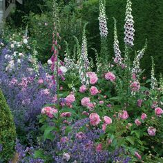 Gertrude Jekyll rose in the mixed border - like this with purple and white
