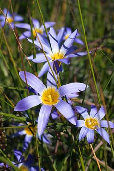 Romulea tabularis [Family: Iridaceae]