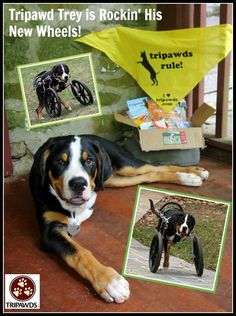 #Tripawd Dog Wheelchair Training Tips for Front-Leg Amputees
