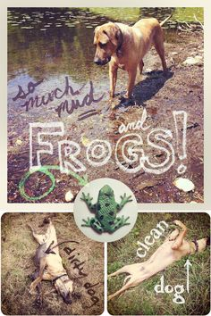 Rhodesian Ridgeback dog, Oscar, covered in mud and hunting for FROGS! via www.oscaratemymuffin.com