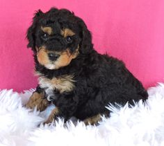 Lancaster Puppies makes it easy to find healthy puppies from reputable dog breeders across Pennsylvania, Ohio, and more. Find your puppy today! Poodle Mix Puppies, Cute Puppies, Lancaster Puppies, Animals Dog, Fun Loving, Puppies For Sale, Mans Best Friend, Cuddle, Puppy Love