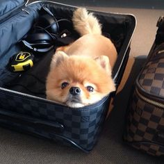 Pomeranian Is All Packed For SXSW