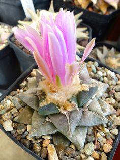 ariocarpus fissuratus x retusus