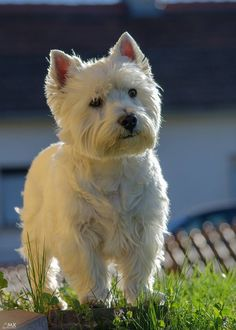 West highland white terrier Puppy Dog Dogs Puppies Westie