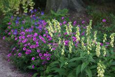 Shade Plant Combination Geranium 'Patricia' Digitalis grandiflora