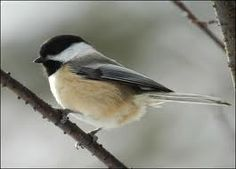 Black capped chickadee - seen in backyard frequently, my favorite bird.
