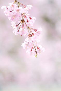 Sakura - Spring in Kyoto