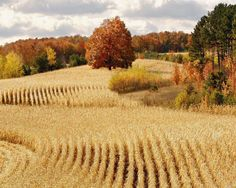 Corn field that goes on forever... Every year all around us