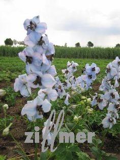 delphinium belladonna hybride 39 kleine nachtmusik 39 rittersporn dunkellila garten pflanzen. Black Bedroom Furniture Sets. Home Design Ideas