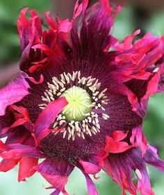8 best one stop poppy shoppe images on pinterest poppies poppy poppy flower seeds purple maroon fringed papaver large blooms are produced in abundance and once spent reveal large seed heads suitable for dried flower mightylinksfo
