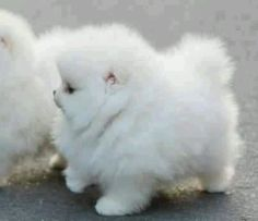 White fuzzy puppy
