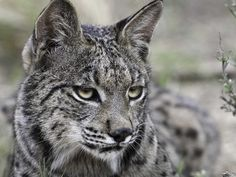 Sad news for the Iberian Lynx due to climate change