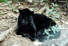 Panther..
