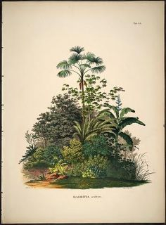 Historia naturalis palmarum :opus tripartium / Carol. Frid. Phil. de Martius. - 1823 - Vol 2 of 3