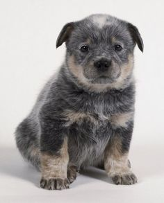 Australian Cattle Dog........super intelligent!! And super cute!!!