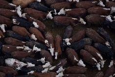 Yann Arthus-Bertrand - Feed lot near the city of Young, Rio Negro Department, Eastern Republic of Uruguay