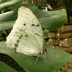 The Most Fascinating Butterflies Moth Species, Butterfly Species, Beautiful Butterflies, Animals, Insects, Angel Wings, Animales, Animaux, Animal