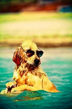 Beautiful Golden retriever puppy in Swim Pool Cute Puppies, Cute Dogs, Dogs And Puppies, Doggies, Funny Dogs, Vida Animal, Funny Animals, Cute Animals, Cute Creatures