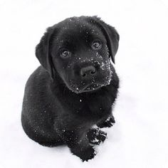 Download Black Chubby Adorable Dog - a4316f5e0ba4c39552377f54daa1b4d9--black-labrador-puppies-black-labs  Collection_28985  .jpg