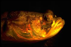 Males of the plainfin midshipman fish court femaleswhile singing to them at nights. Their nocturnal love song has been a mystery since 1980, but scientist finally discovered in 2016 what makes this species sings only at night. The study was published Thursday in the journal Current Biology and ...
