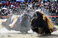 A bullfighting festival was held on the Damxung Grassland in a township of Xigaze City, southwest China's Tibet Autonomous Region