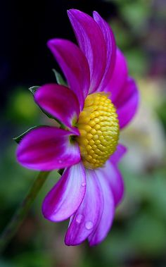 Dahlia | Flickr - Photo Sharing!