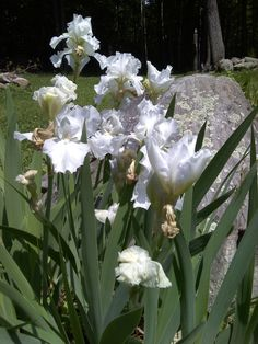 Spring Frilly Irises in the garden
