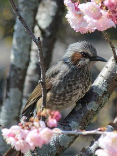 A bulbul enjoys the nectar of the many plum blossoms that appear in spring in Dogo Park, Matsuyama