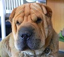 Suite 101 - High Maintenance Dog Breeds include poodle mixes