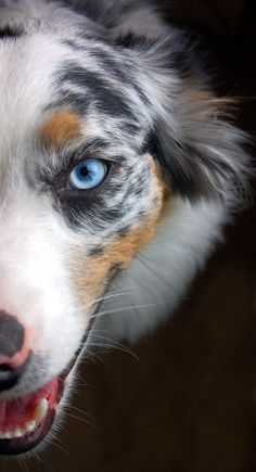 Australian Shepherd (Blue Merle) Those eyes are so pretty. Australian Shepherds, Australian Shepherd Puppies, Aussie Dogs, Baby Dogs, Pet Dogs, Dogs And Puppies, Dog Cat, Pets, Corgi Puppies