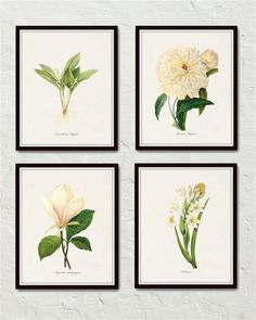 Redoute White Botanicals Print Set No. 1 - Giclee Canvas Art Prints – Printed on archival canvas - Makes a charming vintage display - Multiple Sizes - Free US Shipping – Belle Maison Art Background Vintage, Home And Deco, Botanical Prints, Botanical Decor, Botanical Illustration, Printable Art, Printables, Canvas Art Prints, Art Decor