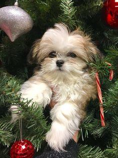 Shitzu Puppies, Cute Puppies, Cute Dogs, Havanese, Cavachon, Bichons, Puppys, Perro Shih Tzu, Shih Tzu Puppy