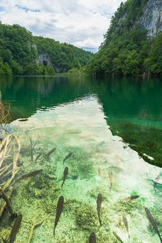 Fishes floating in the wonderful clear water of the Plitvice Lakes in Croatia