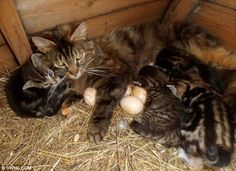 Busy mother: Lizzy the cat looks after her kittens while sitting on the eggs to keep them warm