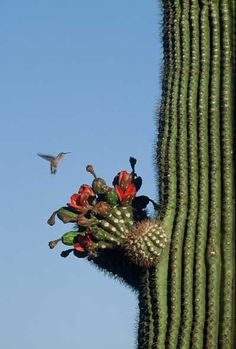 Little Bird, Giant Cacti Saguaro