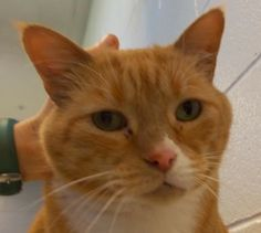 Hi, my name is Jay.  I'm an 8-year-old orange domestic shorthair.  I'm a big boy, weighing in at 23 pounds, and I am full of love!  I love to snuggle, catnip, and playing on my scratching post.  I came to the shelter when my previous people were unable to care for me any longer.  Although I am making progress, I will need a person who can help me stay on my diet.