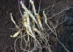small ginseng roots