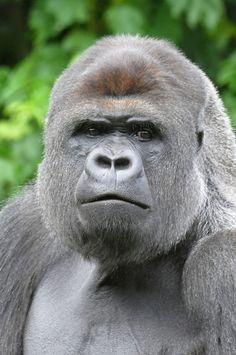 Western Lowland Gorilla    Makula.Westelijke laaglandgorilla (Gorilla gorilla gorilla)GaiaPark, Kerkrade, The NetherlandsConservation status: Critically Endangered