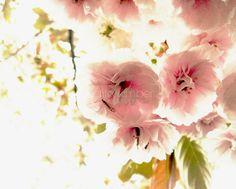 Flower Photography - Cherry Blossom Fine Art Photograph - 8 x10