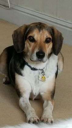 #13 Scottish Terrier German Shepherd Hunter Green Bandana - Cat Beagle
