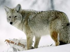 What is optimal temperature for a coyote population?