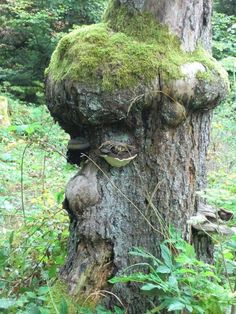 The face of a little old man. Weird Trees, Dame Nature, Magical Tree, Tree People, Tree Faces, Unique Trees, Tree Carving, Unusual Plants, Nature Tree