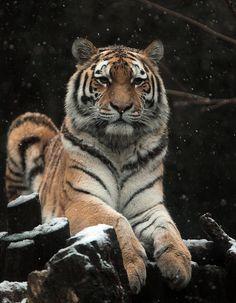 *Tiger (by j.a.kok)