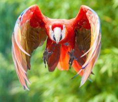 Ara scarlatta - Scarlet macaw - Ara macao