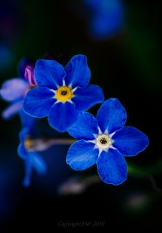 Forget-me-not II by edithnero on 500px
