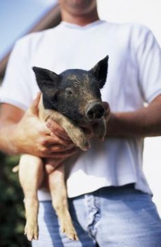 Getting started with pigs: whether you want to raise pigs for meat or as a hobby or 4-H project, this information will help you get started! | Living the Country Life | https://www.livingthecountrylife.com/raising-pigs/