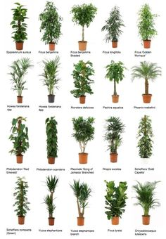 Potted trees for your indoor forest! - Potted trees for your indoor forest! Potted trees for your indoor forest! Best Indoor Plants, Outdoor Plants, Indoor Office Plants, Indoor House Plants, Indoor Plant Decor, House Tree Plants, Indoor Tree Plants, Best Indoor Trees, Best Office Plants