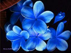 Blue plumeria